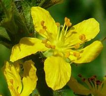 florais-de-Bach-para-ansiedade